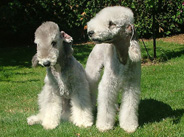 Terrier de Bedlington