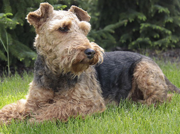 Terrier Gallois, Welsh Terrier